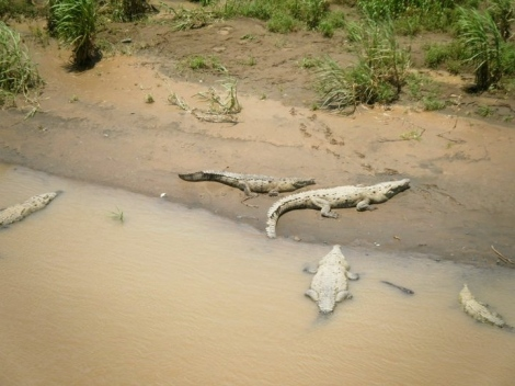 crocodiles rio tarcoles