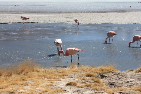 Salt Flats Uyuni Tour Flamingoes